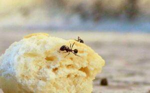 Liberarsi delle formiche in modo naturale